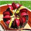 Bonsai 1000 pçs/lote vaso de plantas Insectivorous Dionaea Muscipula gigante clipe Flytrap sementes DIY início jardim