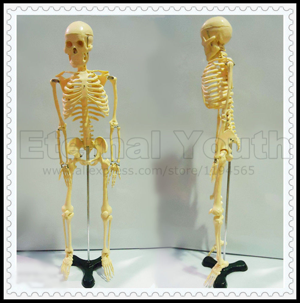 85cm Human Skeleton Anatomical Model Medical Anatomy Full Body PVC human anatomical male body integral skeleton organ skin medical teach model school hospital