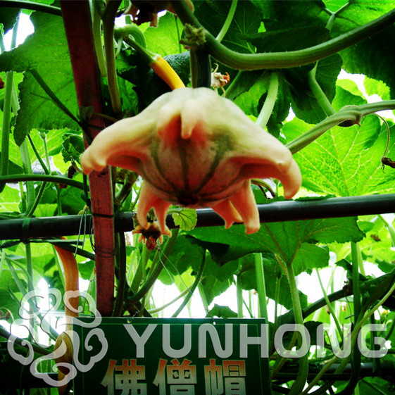 Открытое опыление тыквы бонсай Тыква смеси, 20 шт. бонсай пакет различных Шап тыква овощей Бесплатная доставка без ГМО