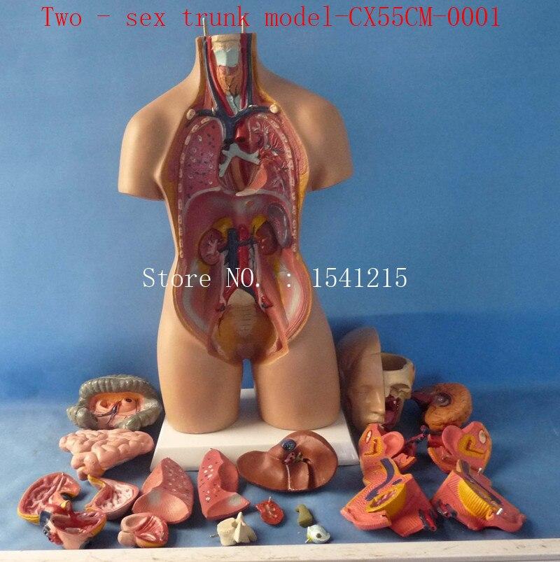 Aliexpress Buy Two Sex Trunk Modelhuman Anatomy Modelhuman