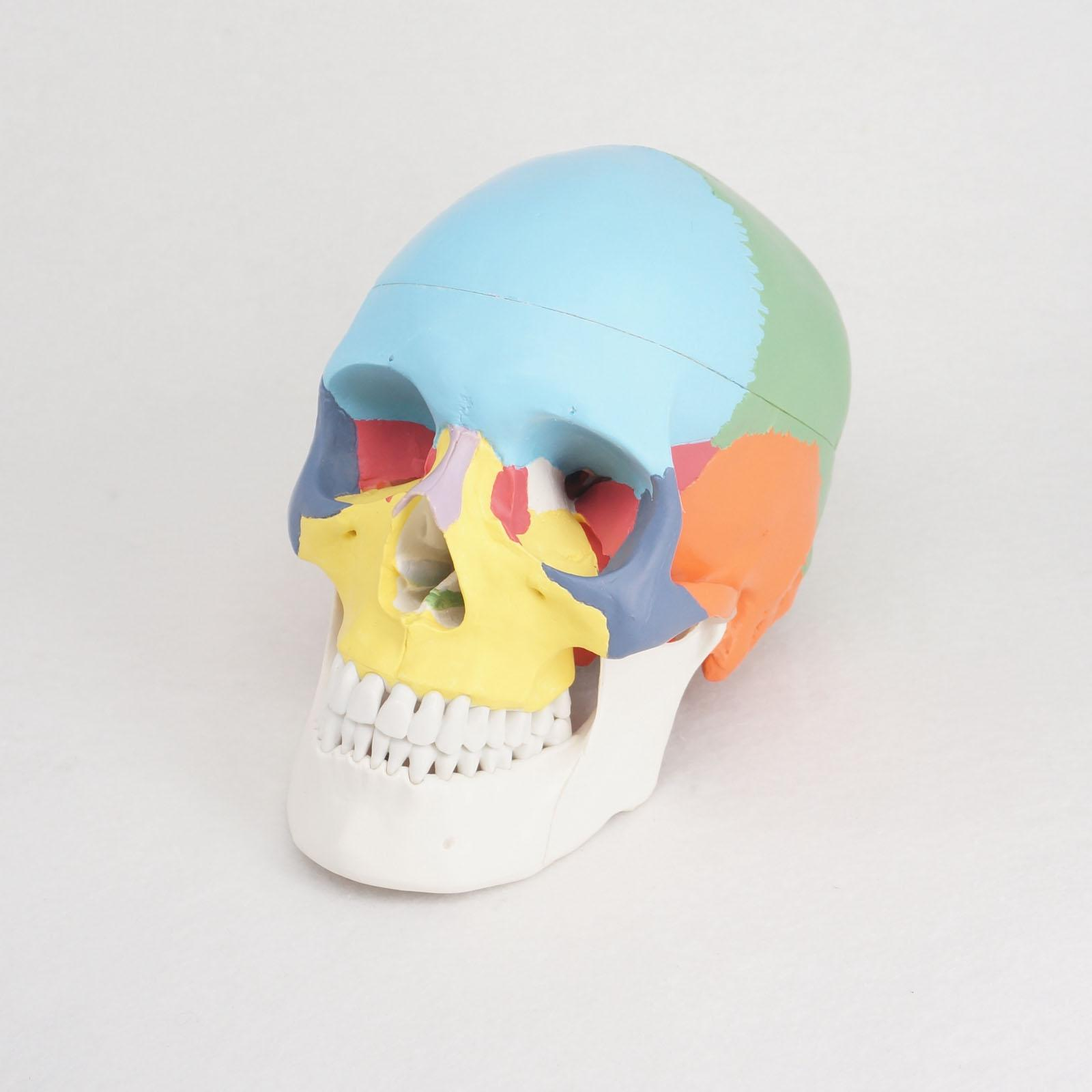 3 Parts Colored Function Human Skull Anatomical Didactic Models Life Size Medical Science plastic standing human skeleton life size for horror hunted house halloween decoration