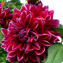 Dahlia Seeds, Dahlia Flower Seeds,Bonsai Flower Plant Seed 100 Particles / lot