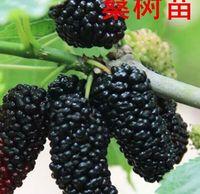 Promotion 200seeds Pre Stratified Jumbo Thornless Blackberry Seeds Juicy Sweet Healthy Fruit Germination Rate 90