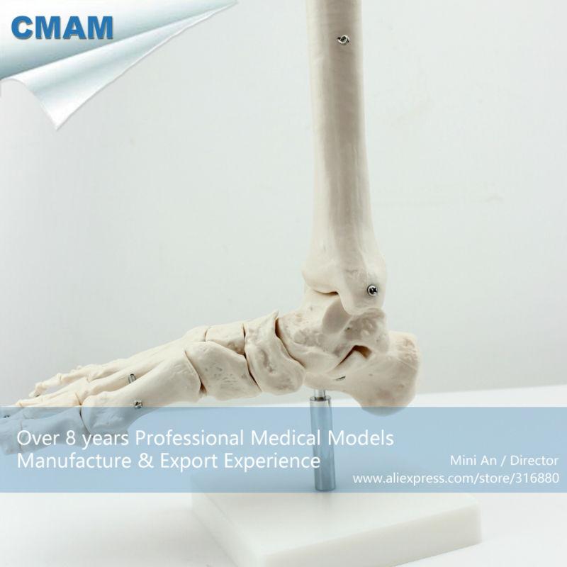 CMAM113, Life-Size Foot Joint, Individual Packs, anatomy models, - School en educatieve benodigdheden - Foto 3