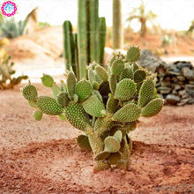100pcs green cactus seeds real prickly pear succulent seeds stone Lithops bonsai planting for DIY home garden supplies potted