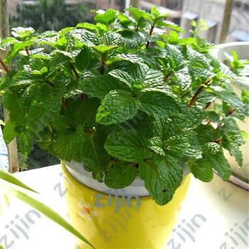 100Pcs Spearmint Mint Bonsai Edible Catnip Plant Flower Vegetable Herb For Home Garden Easy Grow