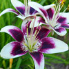 100pcs / bag 24 colors lily bonsai, cheap perfume lilies plant for Garden and home Mixing different varieties 4