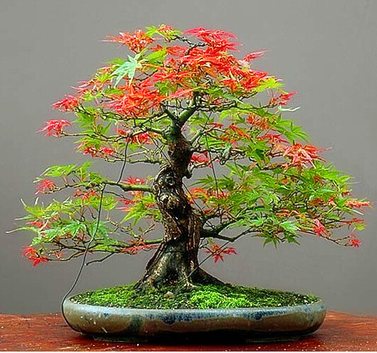 Free Shipping 20pcs Maple Feathers Seeds Bonsai Seed The Budding Rate 90%