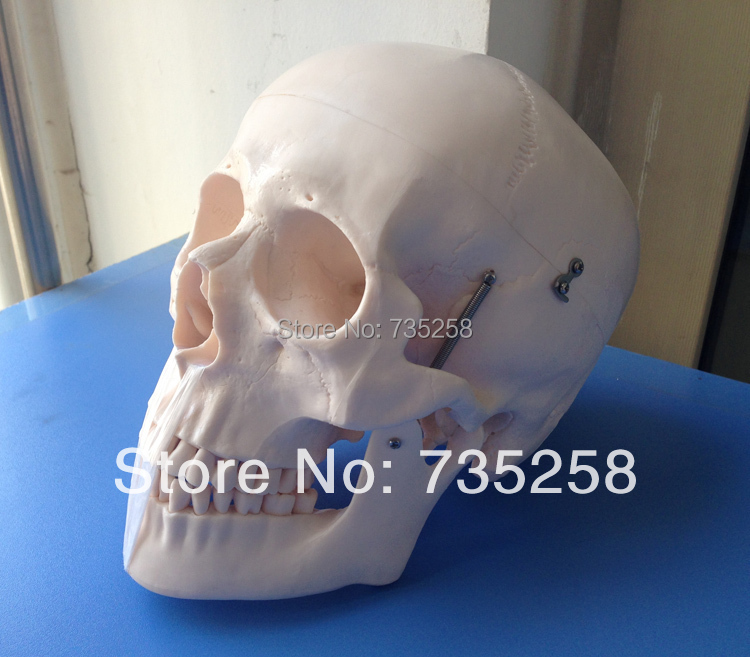 Human Skull Model,Senior 1:1 Skull Model,Head model,Skull Teaching Model hot midwifery teaching model birth demonstration model pelvis with fetal head skull model