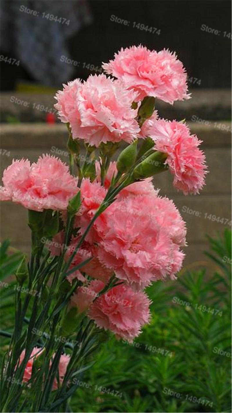 Rare Carnations Plant Mixed Color Flowers Flores 100pcs Bag Dianthus Sweater Anak Laki Rbj347 Getsubject Aeproduct