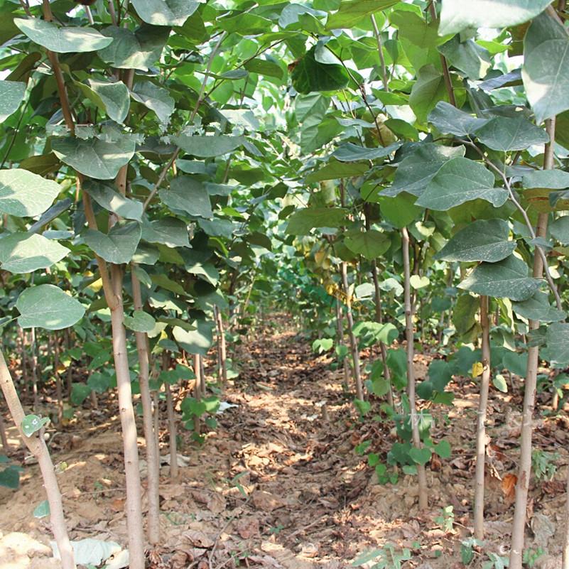 nueva planta de jardn en casa gigante bauhinia patio semillas de rboles bonsai en maceta semillas
