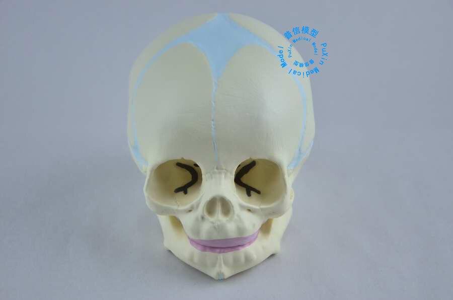 DongYun brand Human Baby skull skeleton model Top quality PVC Medical skeleton teaching supplies dongyun brand human kidney anatomical model urinary system medical science teaching supplies