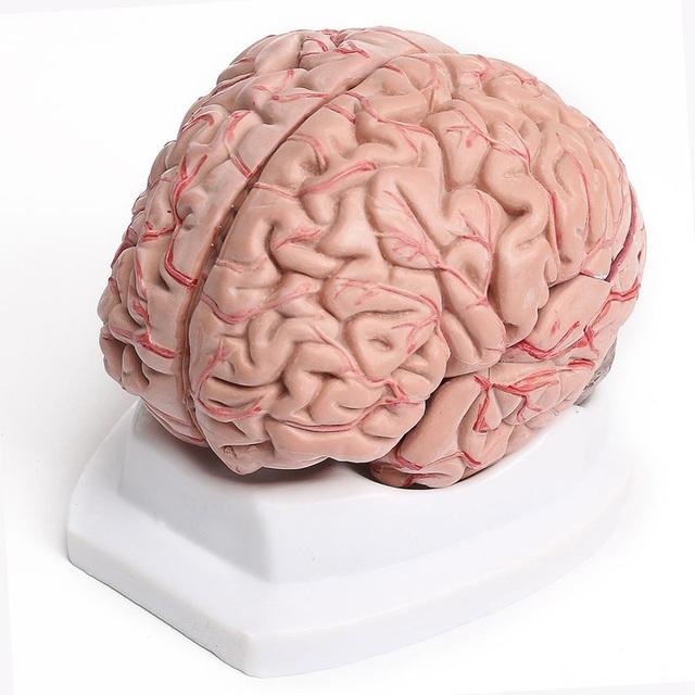 Chegada nova Alta Qualidade 8-Part Humano Modelo Anatômico Anatomia Do Cérebro Com Artérias XT Kits