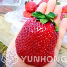 100pcs Germany Super Big Strawberry Bonsai Fruit Bonsai Garden Supplies Bonsai Plants