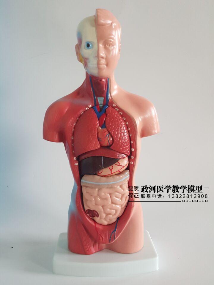 28 CM menschlichen Torso Inneren Organe Modell Medical Aids Skeleton ...