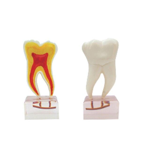 6 Mal Anatomie Zähne Modell für dental materialien labor ...