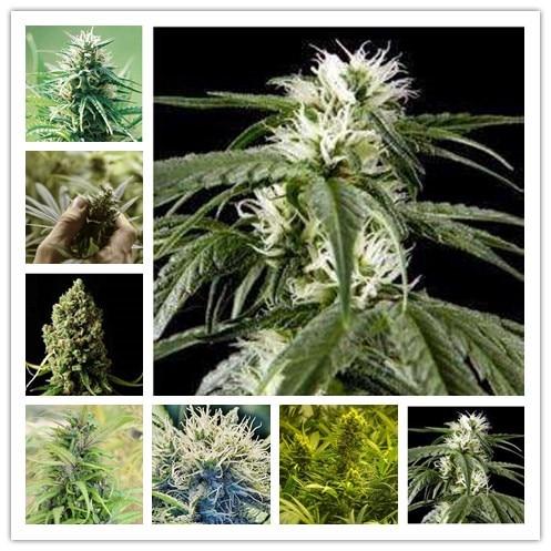 Шаман конопля как легализовали марихуану