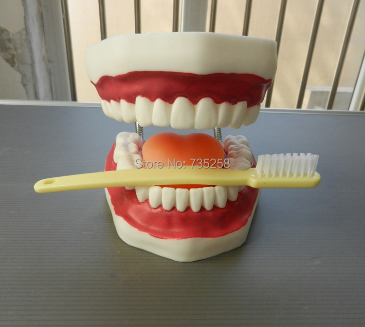 Dental Care Model (32 Teeth),Oral Care Model ,Tooth Model dissected model of teeth tissue dental care model