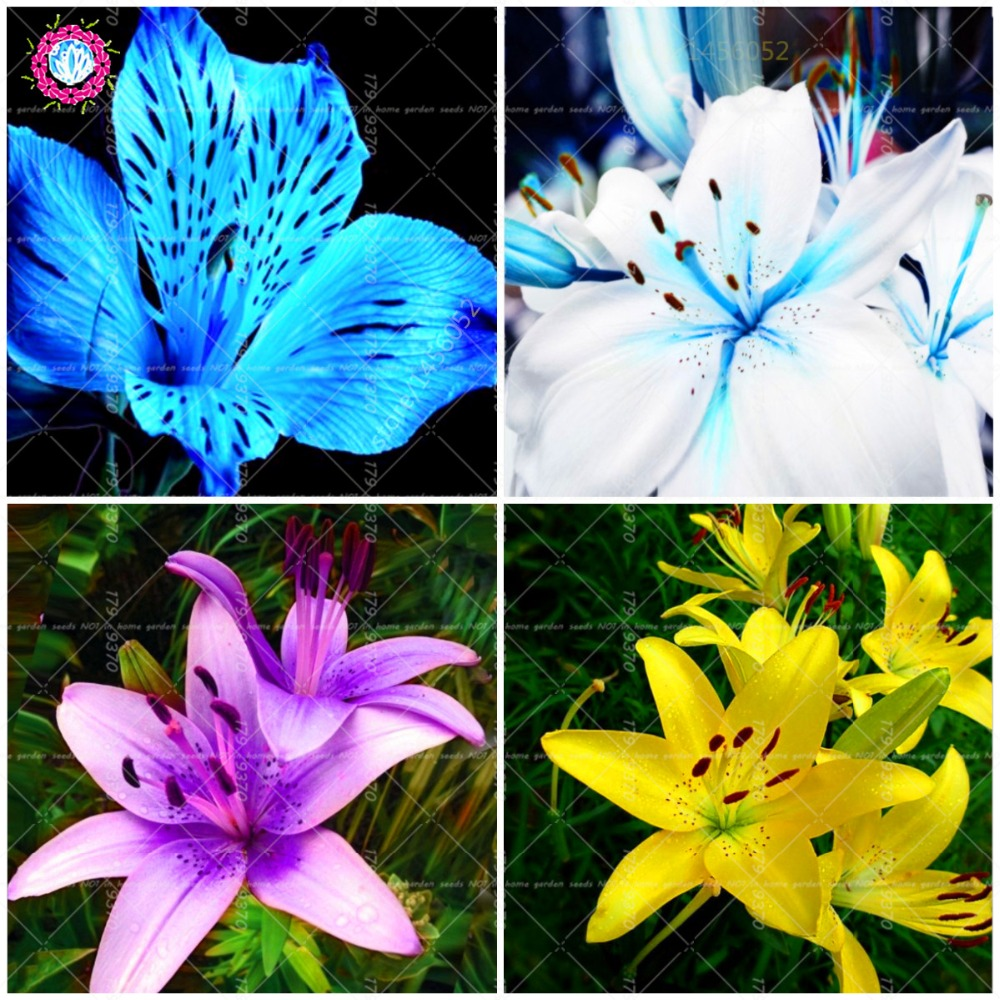 100pcs Blue Perfume Lily Not Lily Bulbsmix Color Bonsai Flower