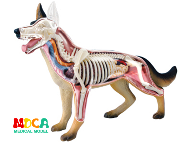 Dog 4d master puzzle Assembling toy Animal Biology organ anatomical model medical teaching model robin hood 4d xxray master mighty jaxx jason freeny anatomy cartoon ornament