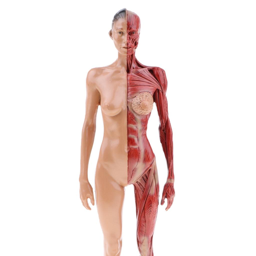 30cm Height Male / Female Anatomy Figure Superficial Muscle Anatomy ...