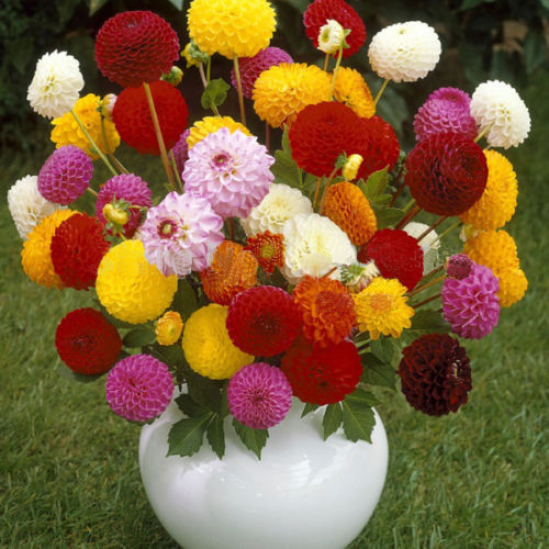 100 pcs Hot Sale Multi-Colored Dahlia Seeds Beautiful Fireball Dahlia Pinnata Seeds for DIY Home Garden Bonsai Plant