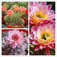 Hardy plant Cactus Succulents Plant Ball Cactu mixed colors of flower perennial bonsai plant embellishing home garden 200pcs/bag(China)