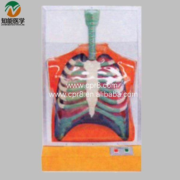 Electric Human Respiratory System Model  BIX-A1077 WBW315 bix a1079 electric portal collateral circulation model g156