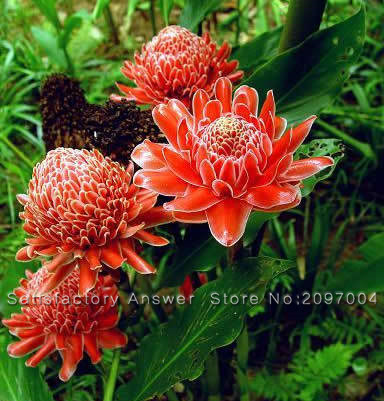 aliexpress  buy pcs torch ginger etlingera elatior flowers, Natural flower
