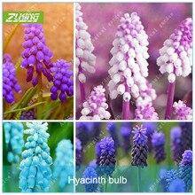 ZLKING 2 Grape Hyacinths Bulbs Rare Colors Bonsai Flower Plants DIY Home Garden Not Hyacinth 2018 Netherlands High Quality