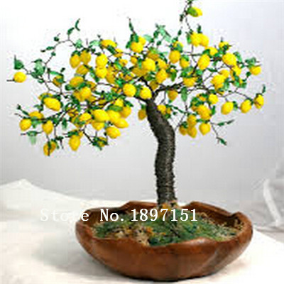 Big sale Bonsai Lemon Tree Seeds High survival Rate Fruit Tree Seeds For Home Gatden Backyard (50Pieces) Free Shipping
