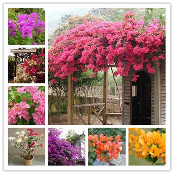 Kembang Kertas Bonsai Warna-warni Kembang Kertas Spectabilis Willd Tanaman Abadi Tanaman Bunga Taman Bonsai Pot Tanaman 50 Pcs/Tas