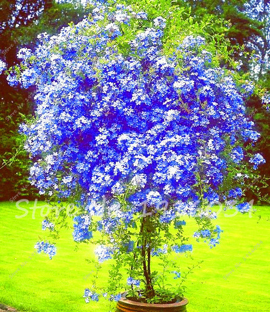 100 pcs plumbago graines bleu plumbago bonsa graines for Plante western