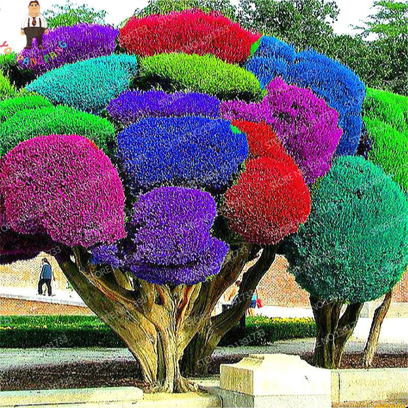 unidades del arco iris semillas de rboles de pino japons bonsai perenne pinus thunbergii semillas