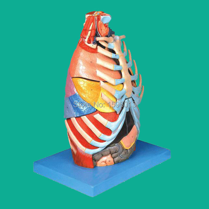 Thoracic Cavity Model, Chest anatomical model,Thorax anatomy model cmam nasal01 section anatomy human nasal cavity model in 3 parts medical science educational teaching anatomical models