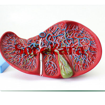 Human Anatomical Liver & Gall Bladder Anatomy Medical Model School Hospital Professional Magnify