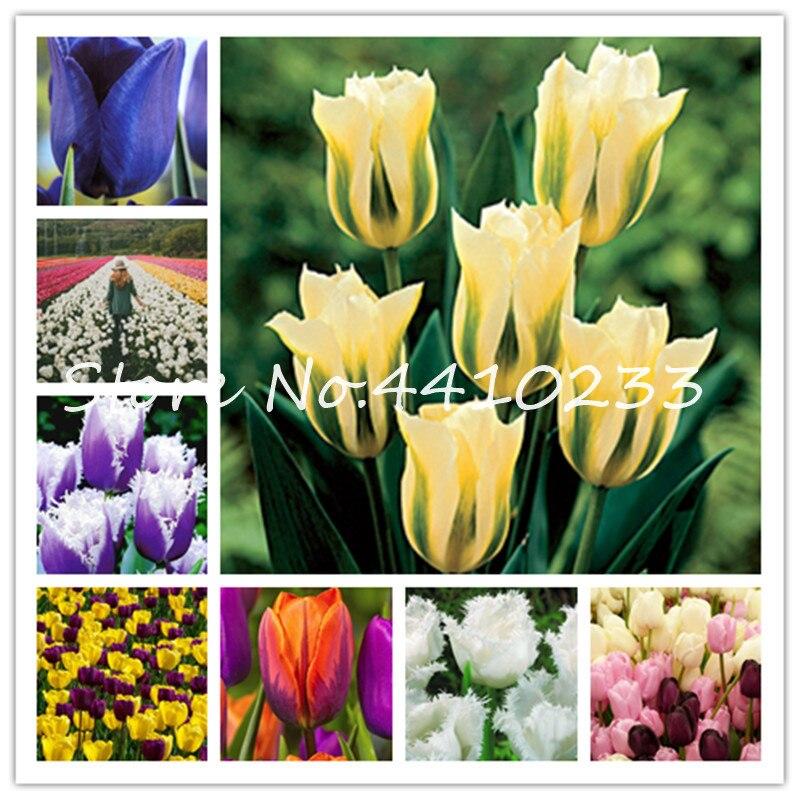 Бонсай 100 шт. бонсай тюльпана (не луковицы тюльпанов) 24 сорта Радуга тюльпан высокого класса цветок в горшках завод самые красивые * красочны...