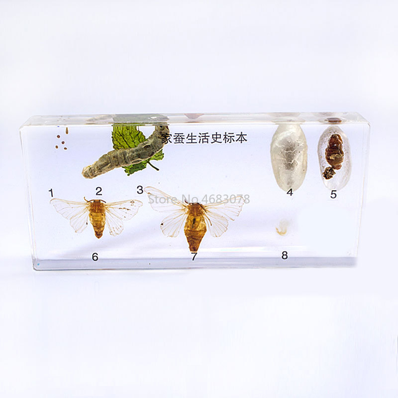 Brand New Life Cycle Of Silkworm Specimens In clear Lucite Educational Instrument 14x6.4x1.8cmBrand New Life Cycle Of Silkworm Specimens In clear Lucite Educational Instrument 14x6.4x1.8cm