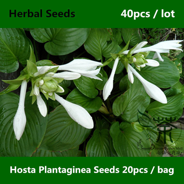 aliexpress  buy beautifying hosta plantaginea seeds pcs, Natural flower