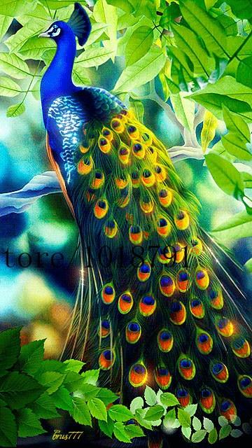 5400 Gambar Burung Merak Gratis Terbaik