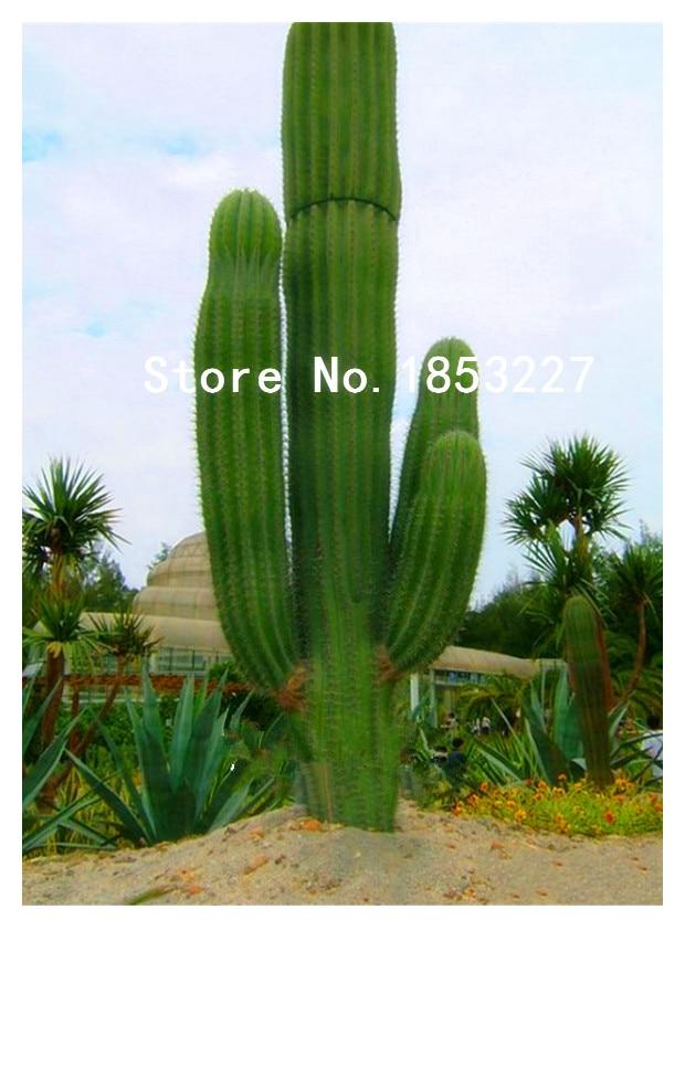 GGG GGG Sale Semillas De Flores 100 PCS/Lot Succulents Raw Stone Cactus Seeds Stems Tetragonia Potted Flowers Fleshy