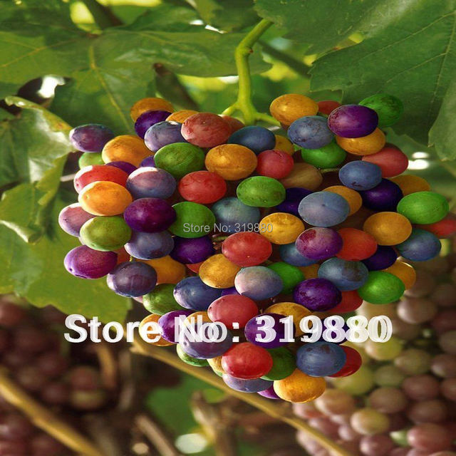 Free shipping  rare colorful grape 100 seeds fruit seeds