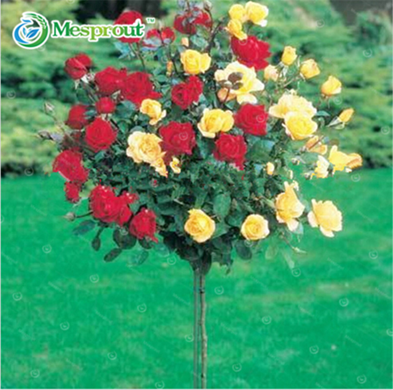Rare flower Rose tree Seeds, DIY Home Garden Potted ,Balcony & Yard Flower Plant - 100pcs/lot