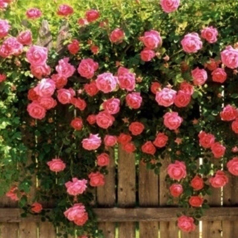 50 семян/пакет розы сеянец семян розы растений Балконный бонсай растений семена цветов Роуз Семена