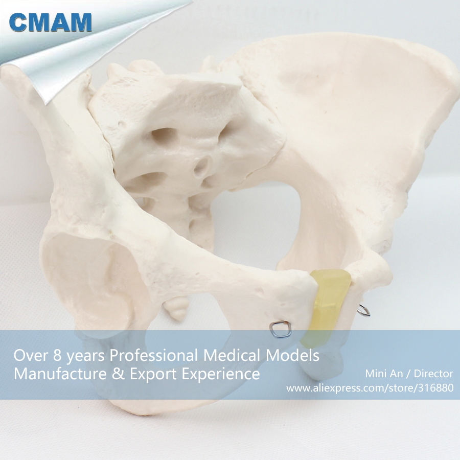 12340 CMAM-PELVIS03 Life Size Female Pelvic Skeleton Anatomical Model , Medical Science Educational Teaching Anatomical Models cmam a29 clinical anatomy model of cat medical science educational teaching anatomical models