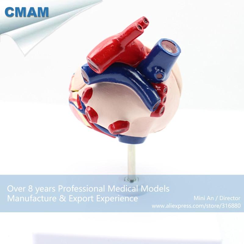 12008 CMAM A06 Tierarzt Hund Hunde Herz Anatomie Modell ...
