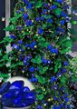1000pcs Blue Climbing Strawberry seeds, sweet delicious Fruit Seeds For Home & Garden bonsai tree, potted plant, sent rose gift