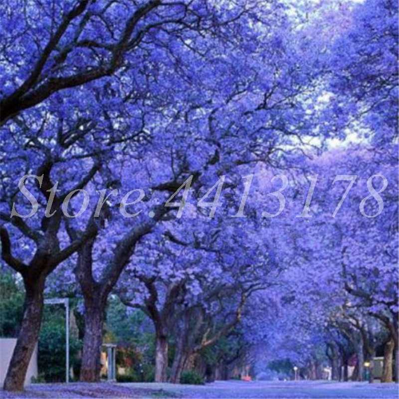 50 Pcs Rare Jacaranda Mimosifolia Tree Outdoor Potted Jacaranda Flower Garden Evergreen Shrubs Flore Plant DIY Home Garden Decor