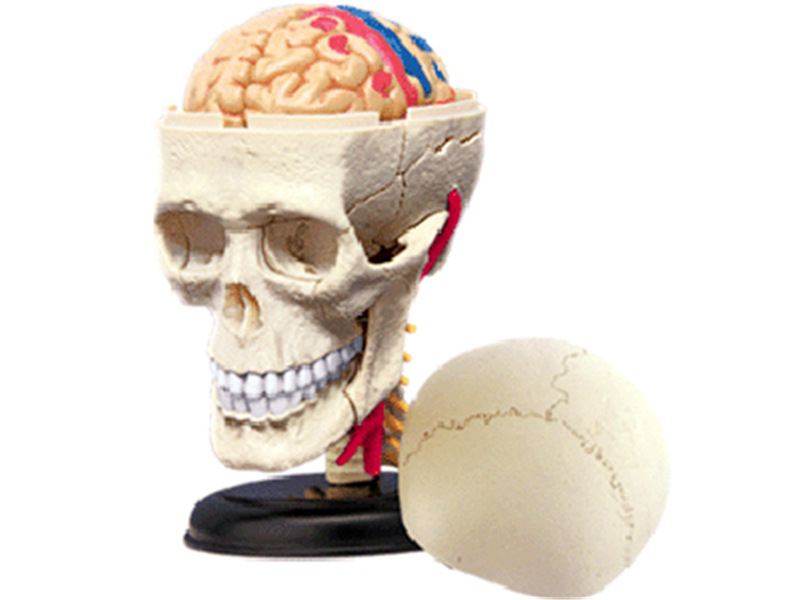 Cranial Nerve Kkull Human Head skeleton Brian Organs Assembling Medical Manikin esqueleto Science Anatomical Model 4D