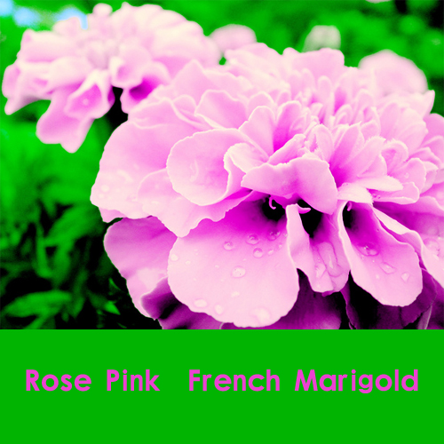 200 100% роза розовый цвет французский ноготк семена ( бархатцы ), Великолепный цвет, Бесплатная доставка, Красивый дом сад цветок легко